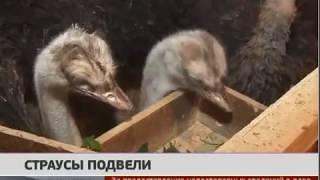 Страусы подвели. Новости. 24/06/2019. GuberniaTV