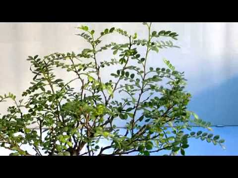 Bonsai potatura autunnale pepe youtube for Bonsai pepe