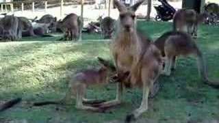 Kangaroo mother calling Joey back to pouch