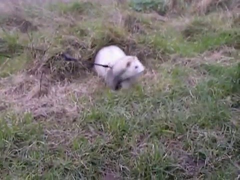 Ferrets and Sea Kale