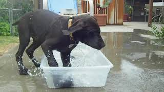 A German Shorthaired Pointer 15 week-old Puppy playing in water Par...