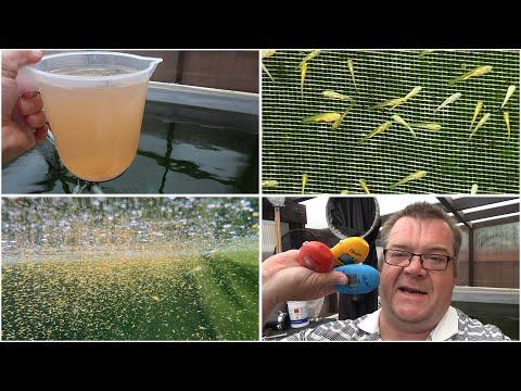 My Koi Breeding Project - Part 38 - 1 week Goshiki fry, harvesting brine shrimp and Hanna Checkers
