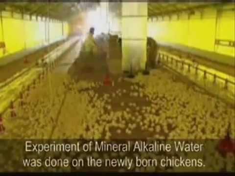 Alkaline Water Test On Chickens - Amazing Benefits