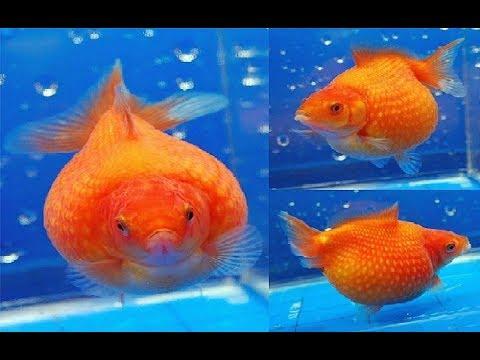 Cute baby Pingpong Goldfish - YouTube