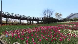 新潟ふるさと村で咲いてるチューリップ  になります。 桜とチューリップ...