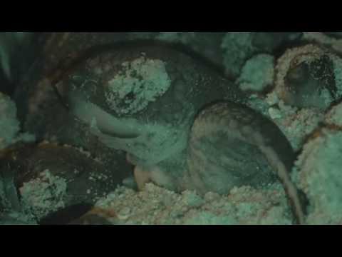 Op Jairo Caribbean - Hatchlings