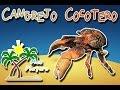 Cangrejo cocotero |El ladrón de los palmares| (Animales del Mundo) |Mes playero| thumbnail