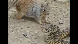 リス vs ヘビ勝ったのはまさかの・・・ https://www.youtube.com/watch?...