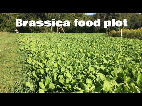 Planting A Brassica Fall Food Plot