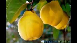 eczane gibi bir meyve ayva ve ayvann faydalar