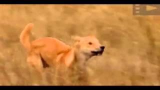 Охота собак Динго на кенгуру