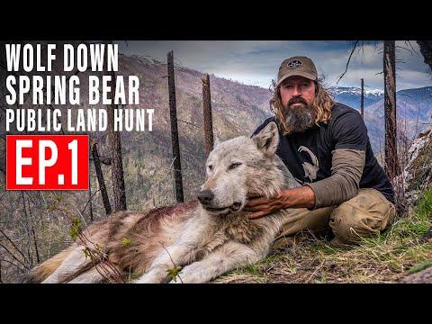 WOLF DOWN! BEAR HUNT 4K | EP 1 | PUBLIC LAND