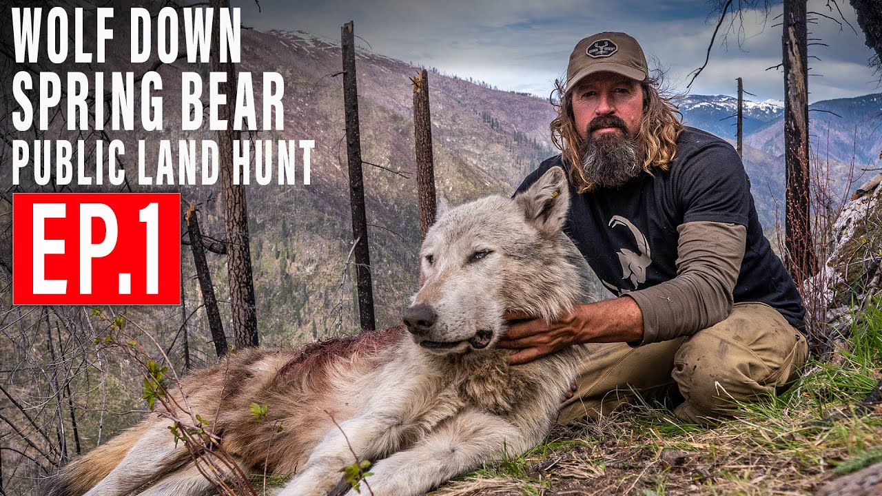 Download WOLF DOWN! BEAR HUNT 4K   EP 1   PUBLIC LAND