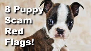 REAL Example Of Boston Terrier Puppy Scam!