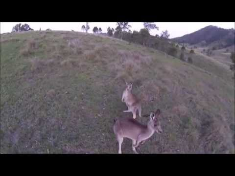 Kangaroo Encounter with a Drone