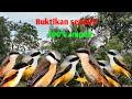 Suara Burung Cendet Bikin Ngamuk Lawan Anti Zonk  Mp3 - Mp4 Download