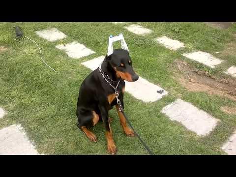Tutorial de Cachorros compra, tenencia, cuidados y mantenimiento parte 1 from YouTube · Duration:  51 minutes 26 seconds