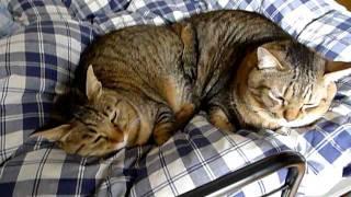 双頭の猫 thumbnail