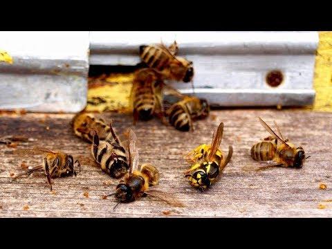 В России массово гибнут пчелы: чем это грозит