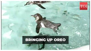Meet Oreo, Humboldt penguin and 4-month old Mumbaikar