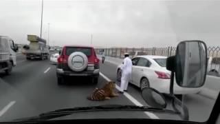 Video Di Qatar, Biasa Seekor Harimau Berlari di Jalan Raya Setelah Lepas dari Mobil Pemiliknya download MP3, 3GP, MP4, WEBM, AVI, FLV September 2018