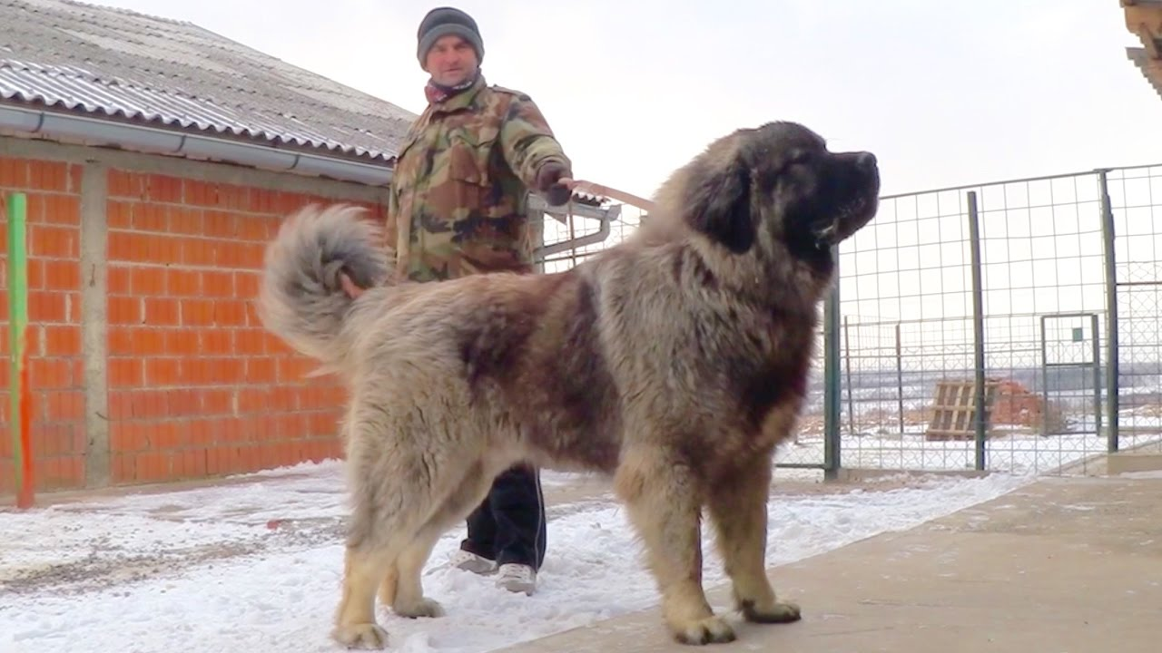 Image result for Caucasian Shepherd