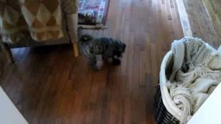 Maltese/yorkshire (morkie) Terrier Dancing