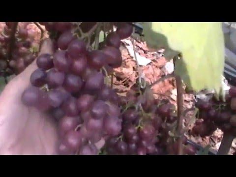 Сорт винограда Красный мускат - сезон 2015