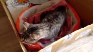 Кошка озверела после первых родов
