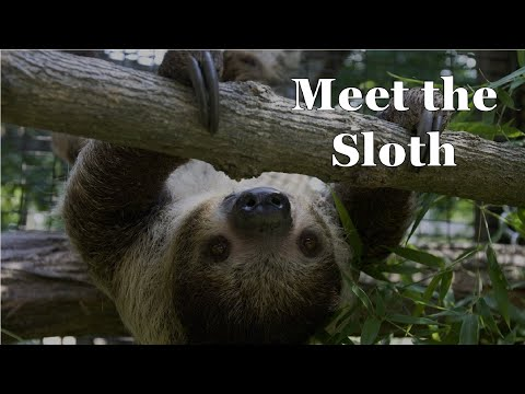 Two-toed Sloth (Scovill Zoo) - Episode 197