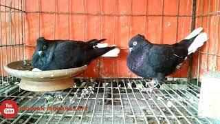 Coloring pigeons breeds -Black chuithal musaldom  pigeons . bd rahman pigeons loft.
