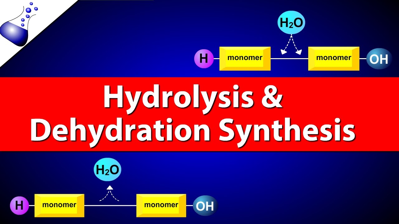 Hydrolysis And Dehydration Synthesis Youtube
