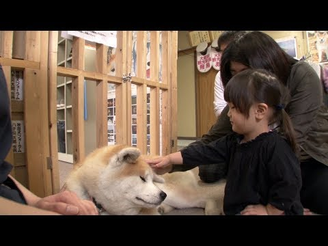 Japans Most Faithful Dogs The Akita Inu