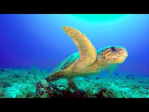 Why Florida Beaches Are Vital For Loggerhead Sea Turtles (4K)