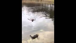 English Cocker- Quail Water Retrieve