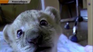 世界で一匹だけの奇跡のラライガー(トラ+ライオン=ライガー、ライガー...