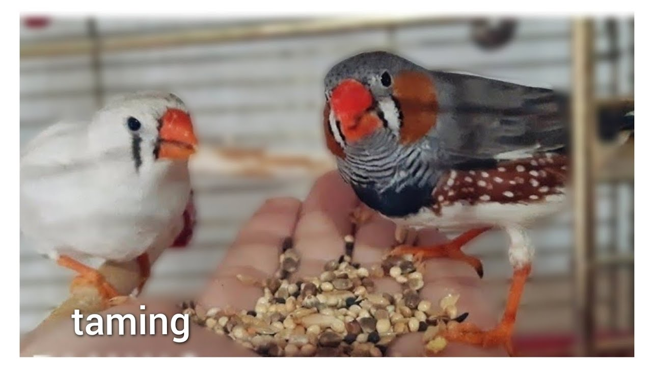 zebra finches eating from hand