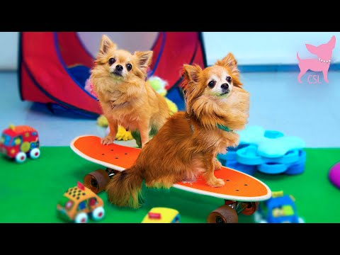 Cute Chihuahua Dogs Playing at a Tiny Dog Playdate