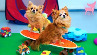 Cute Chihuahua Dogs Playing