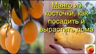 Манго из косточки Февраль  как посадить дома вырастить mango Уход советы как правильно