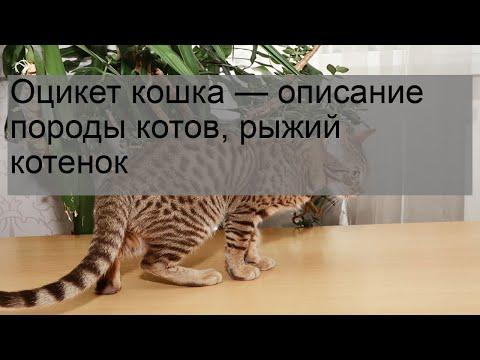 Оцикет кошка — описание породы котов, рыжий котенок