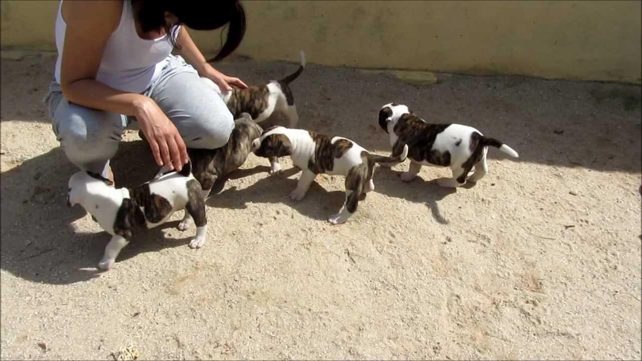 Canil Totem Filhotes Forcabruta Chica 2012 American Bulldog Youtube