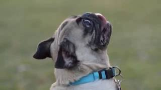 Penny the Pug talking back!!