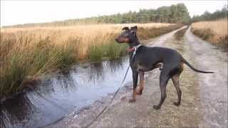 Chester the Manchester Terrier on the Christmas day