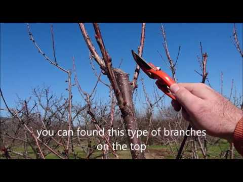 How To Prune Cherry Trees Simple Steps