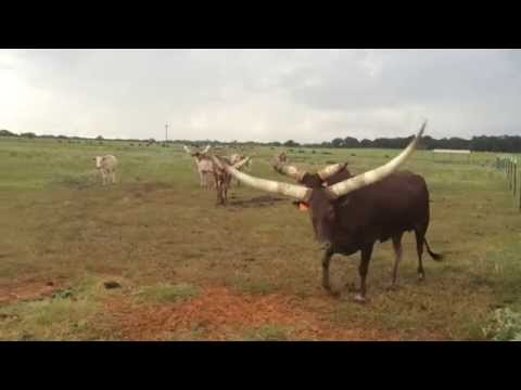 Watusi And Longhorns Fighting