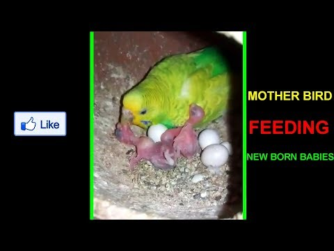 MOTHER BIRD FEEDING BABY BIRDS