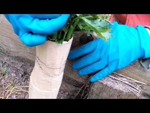 Сельдерей черешковый и корневой