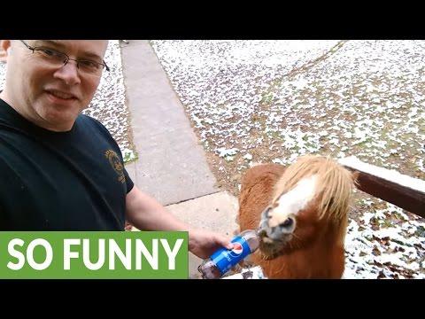 Miniature pony loves to drink soda