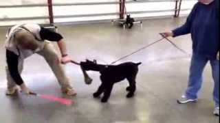 Louis Giant Schnauzer Puppy Prey Drive- Protecion Dogs For Sale At Protectiondogsales.com